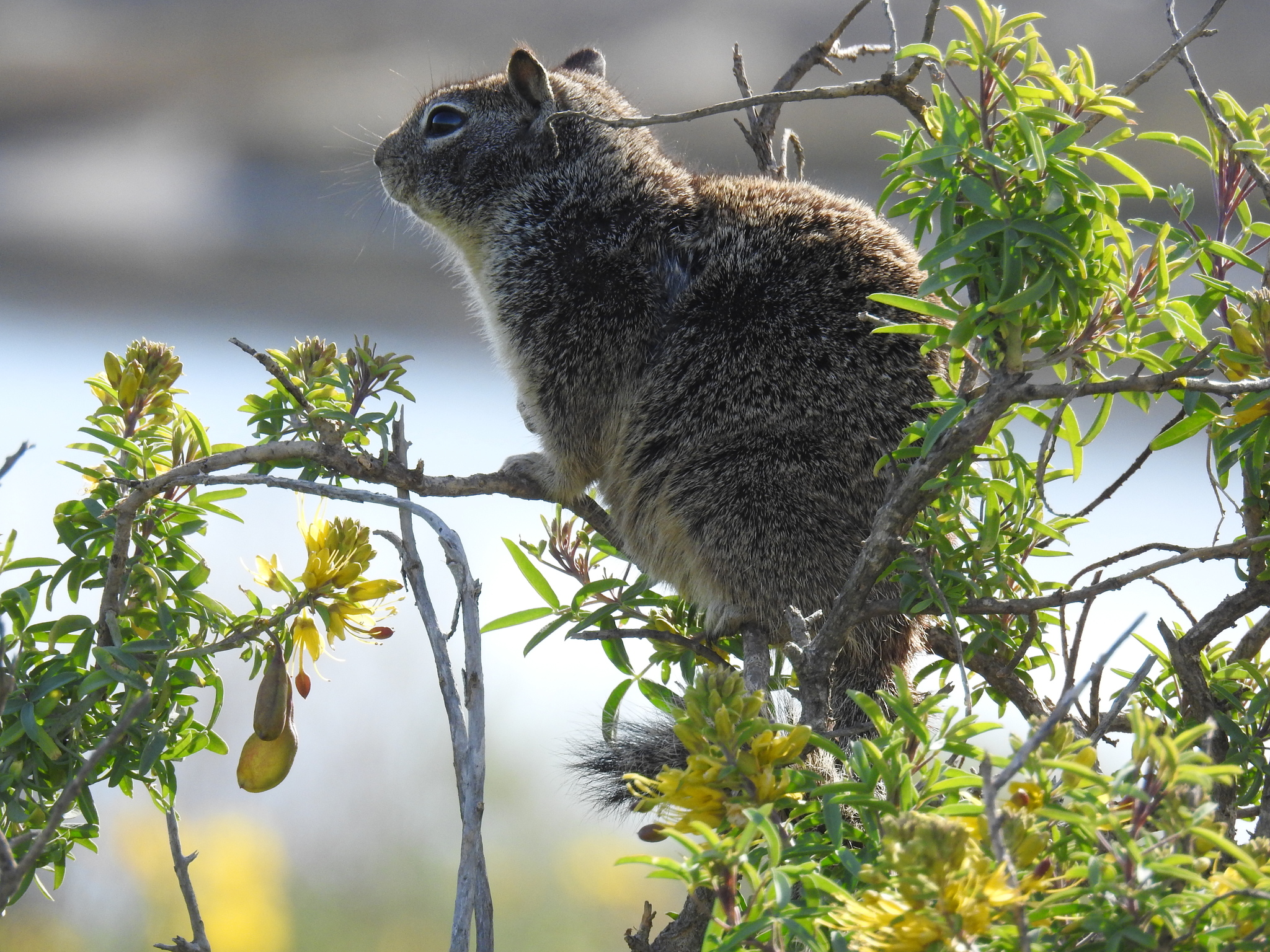 California ground squirrel - Wikipedia