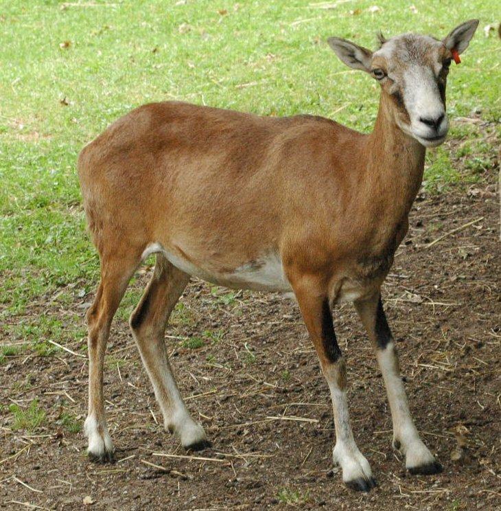 Muflón lesný (lat. Ovis musimon) - samica