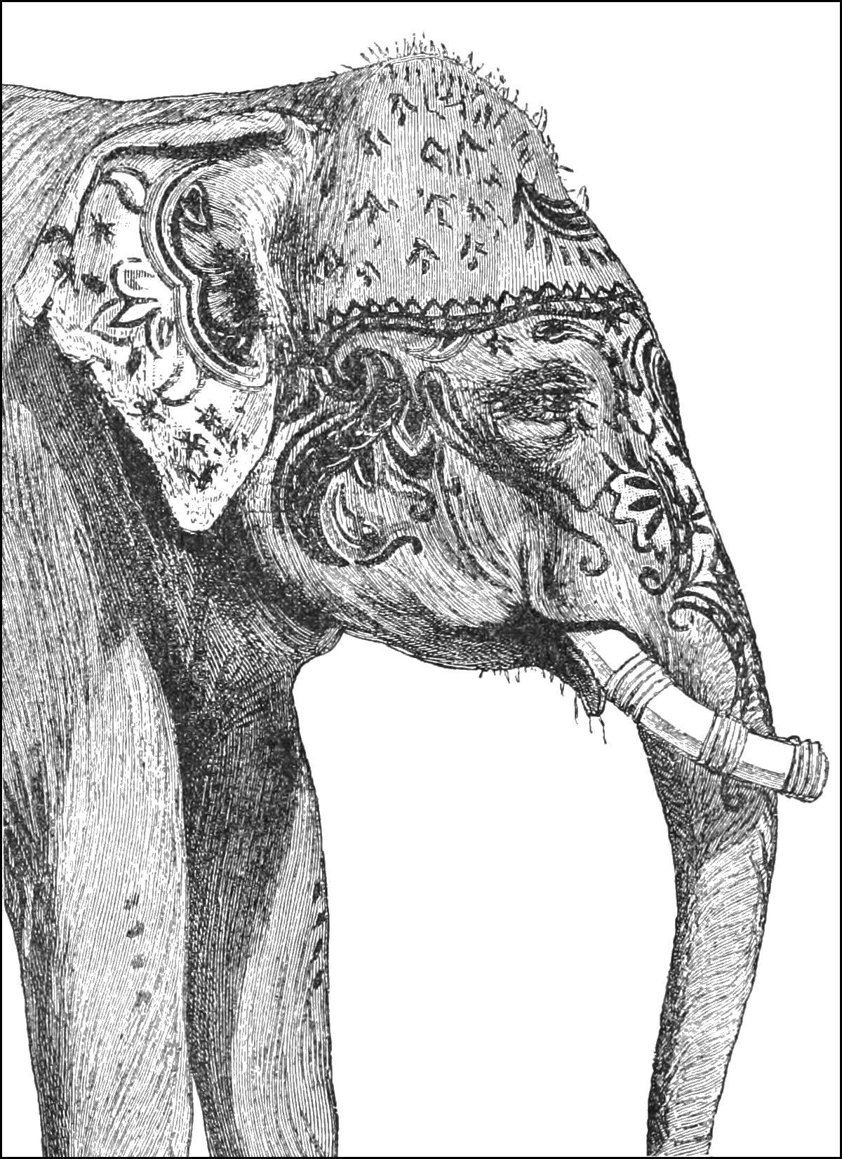 PSM V40 D624 A painted elephant.jpg