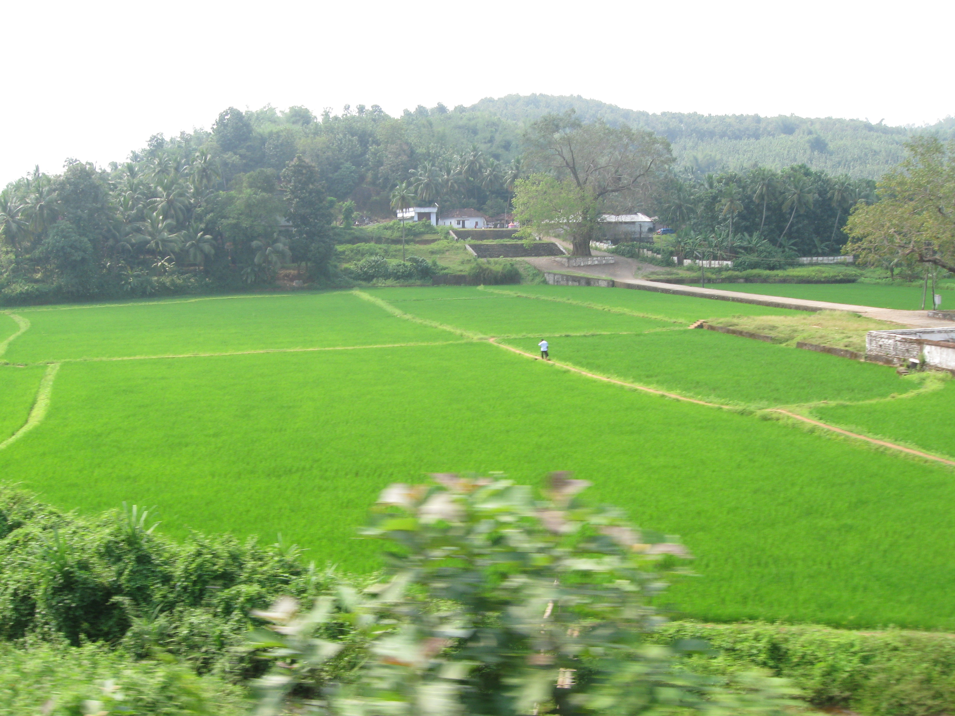 Palakkad India  City pictures : Description Paddy fields near Palakkad, Kerala, India