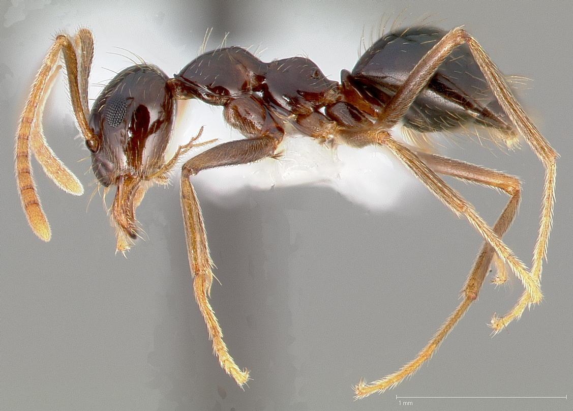 Prenolepis imparis - Wikipedia on ants in bathtub, ants in boat, ants in microwave, ants in pantry, ants in art, ants in carpet, ants in room, ants shower, men's bathroom, ants in desk, ants in sweeper, ants in siding, ants in pants the game, ants in faucet, ants in mailbox, ants in sink, ants in-house, ants in wood floors, ants in attic, ants in deck,