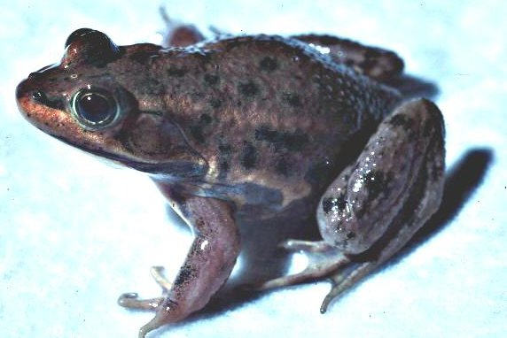 Carpenter Frog (Lithobates virgatipes)