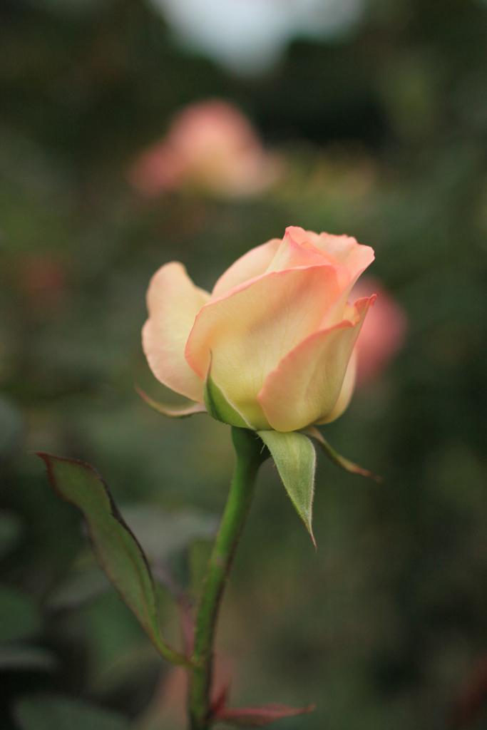 File Rose Diana Princess Of Wales Flickr Nekonomania