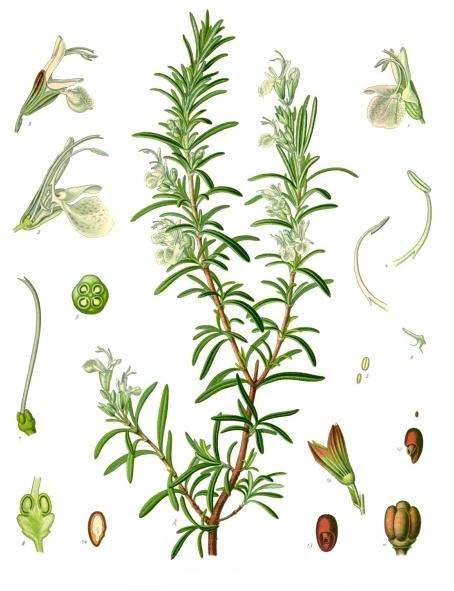 Depiction of Rosmarinus officinalis