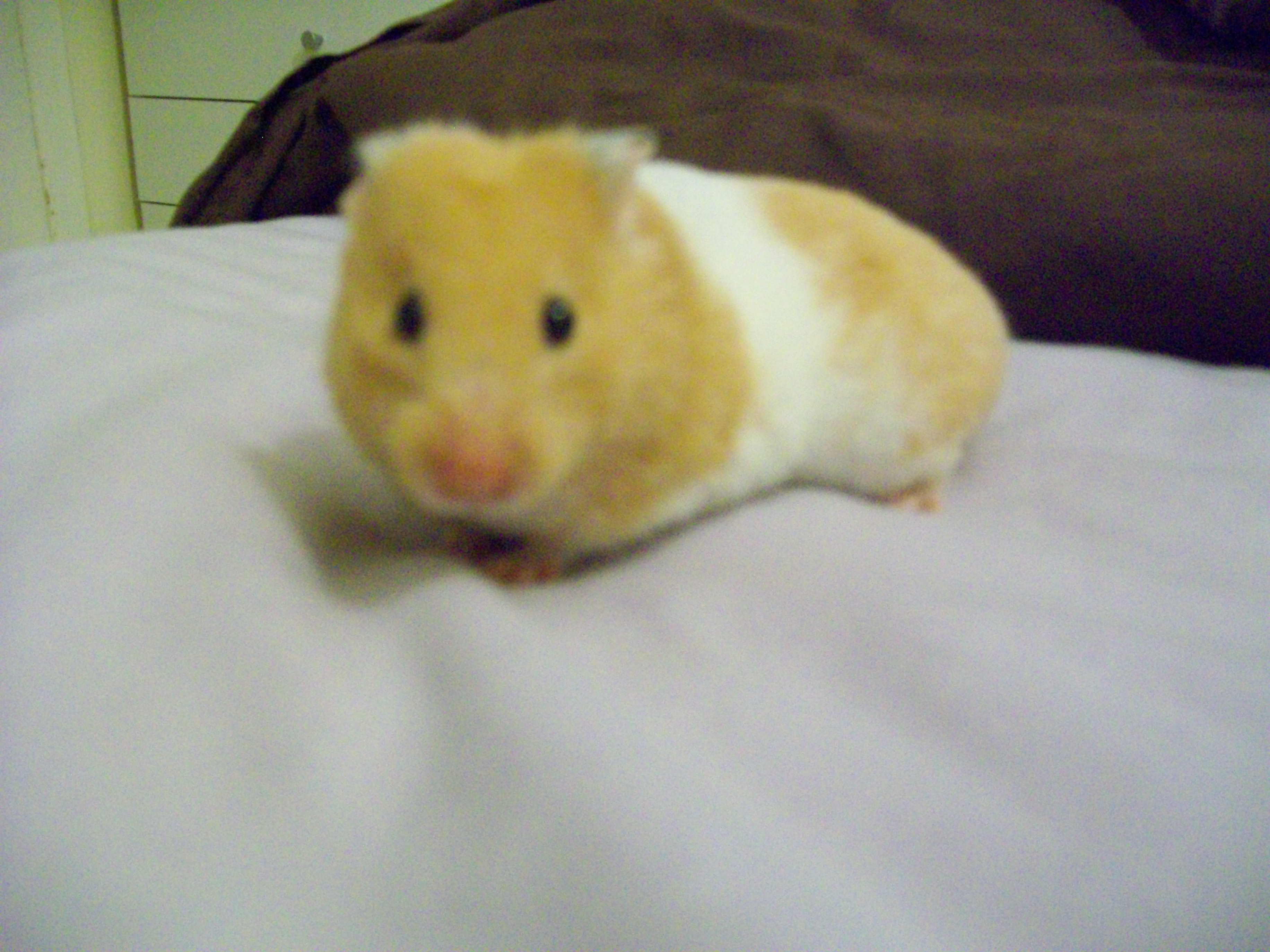 Black and White Syrian Hamster
