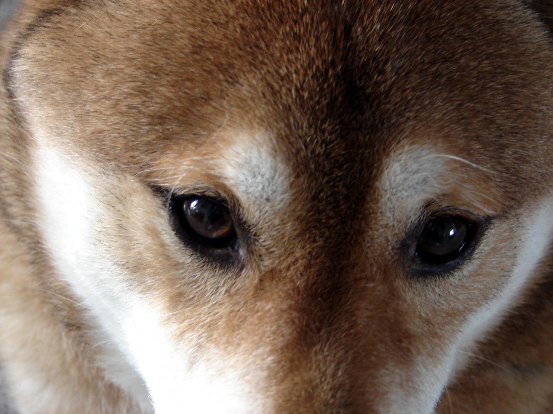 ファイル:Shiba inu eyes.jpg - Wikipedia