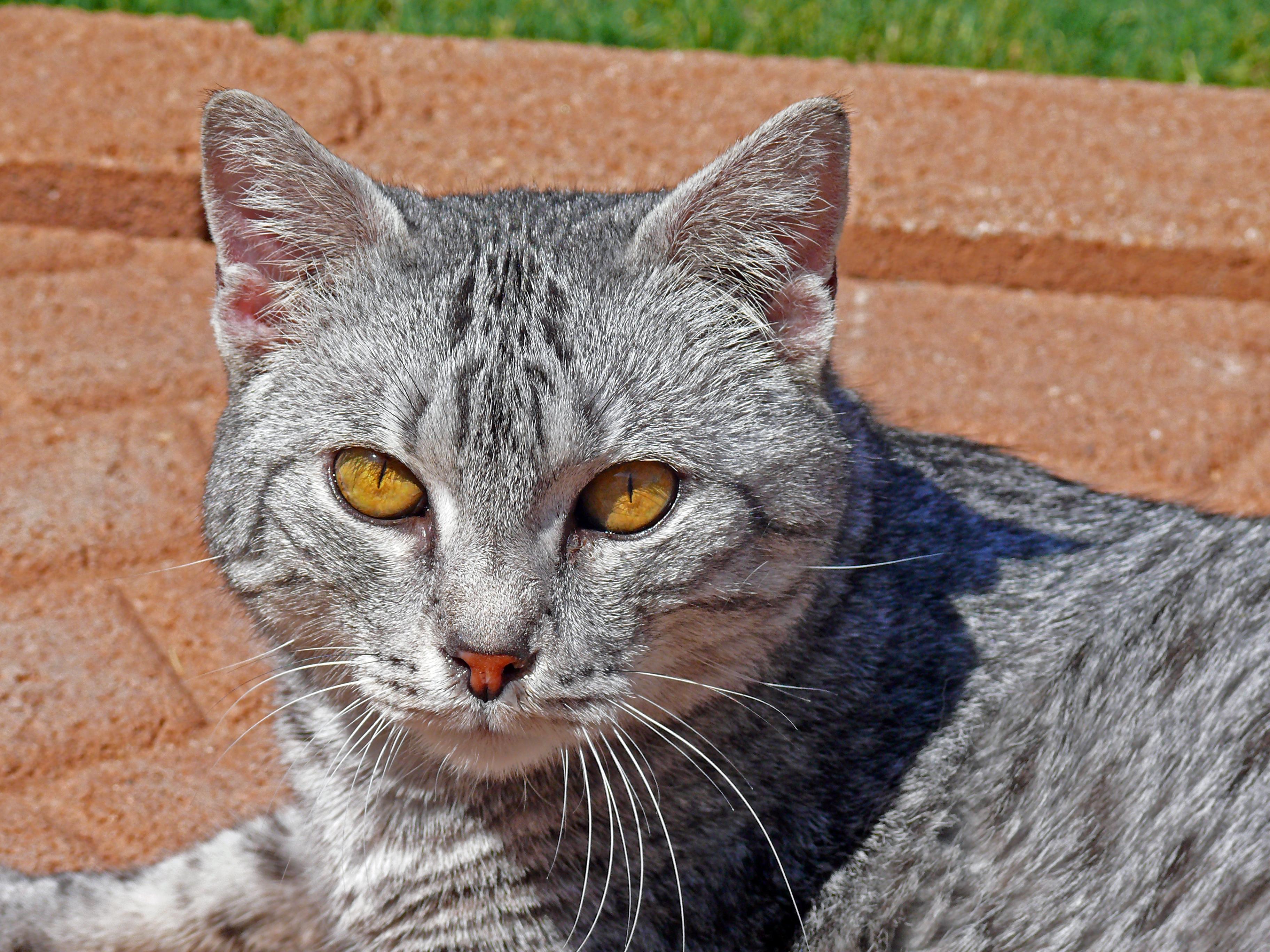 file silver tabby cat portrait in texas jpg wikimedia commons