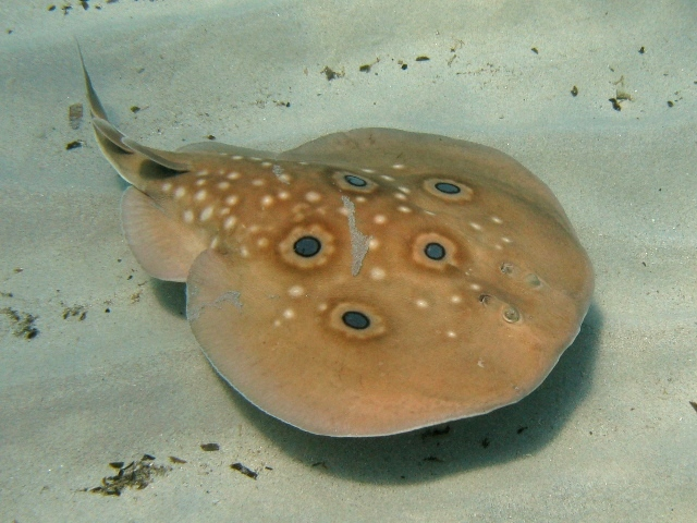 Image result for torpedo fish