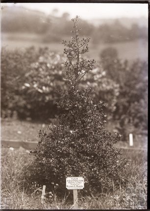 Tree planted by Mildred Mansel