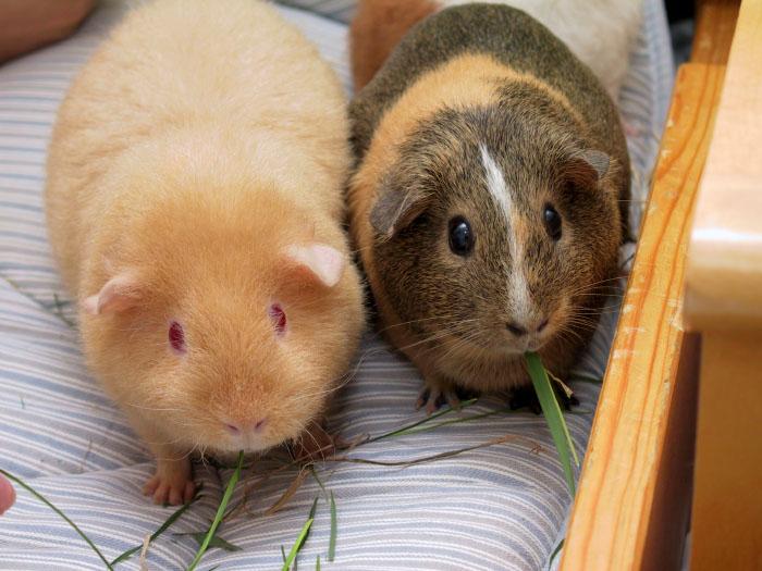 hamster og marsvin