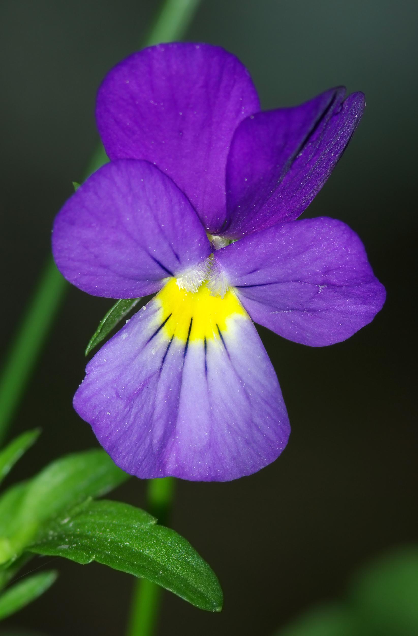 File Viola tricolor flower 02 Wikimedia mons