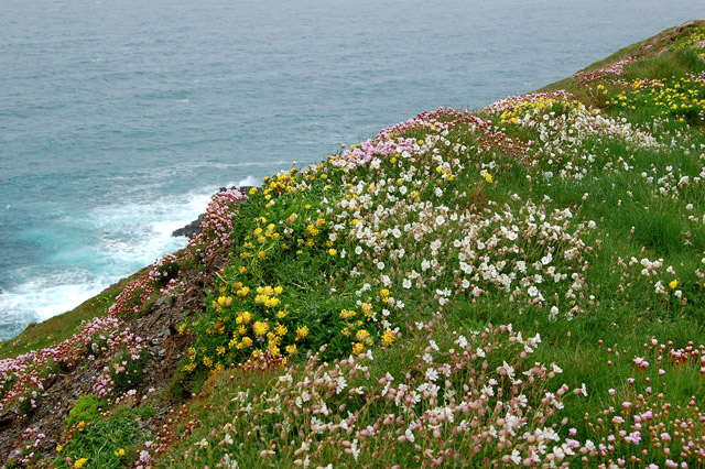 Wildflowers on Trevose Head - geograph.org.uk - 1288636