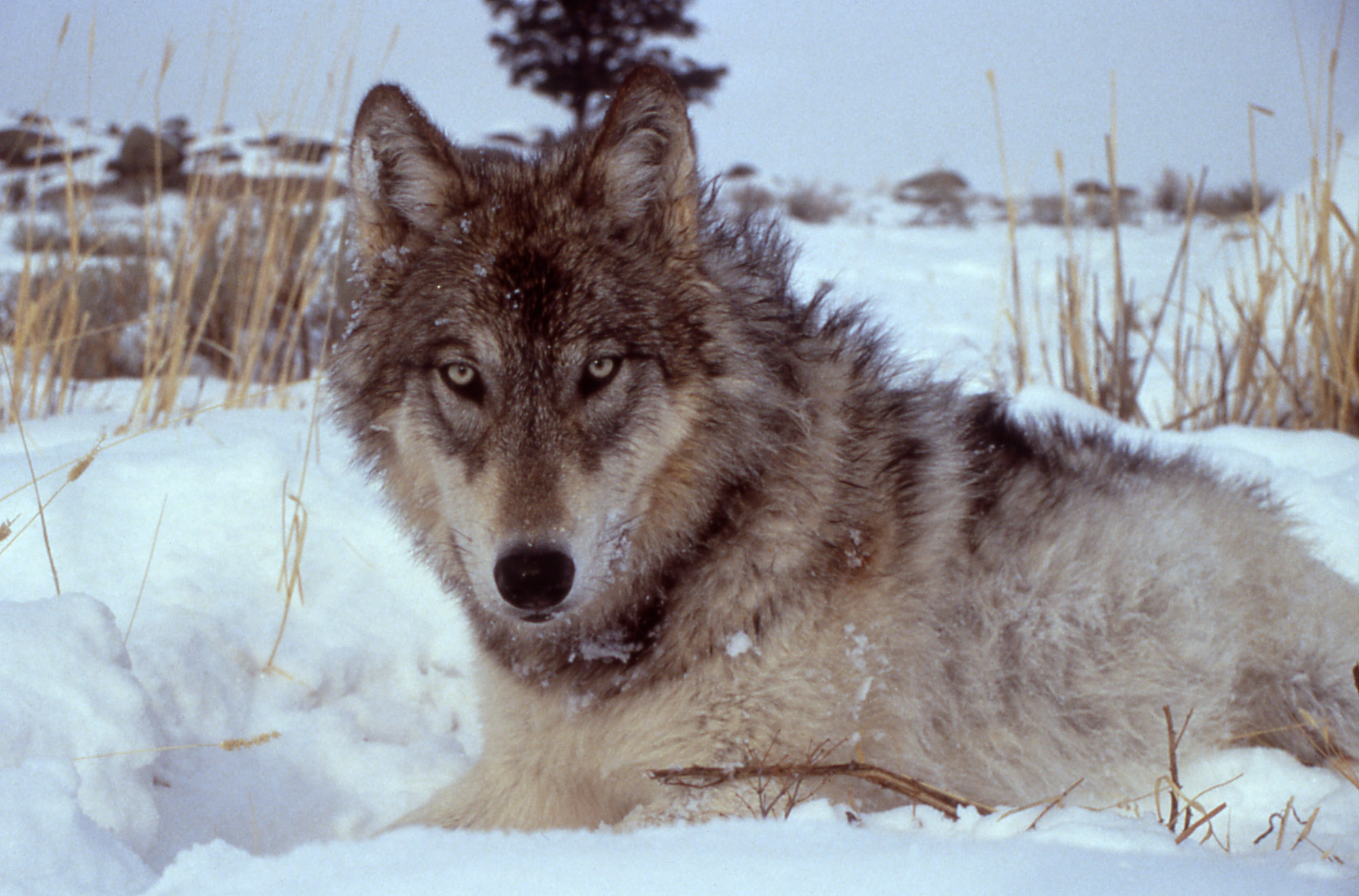 History Of Wolves In Yellowstone Wikiwand