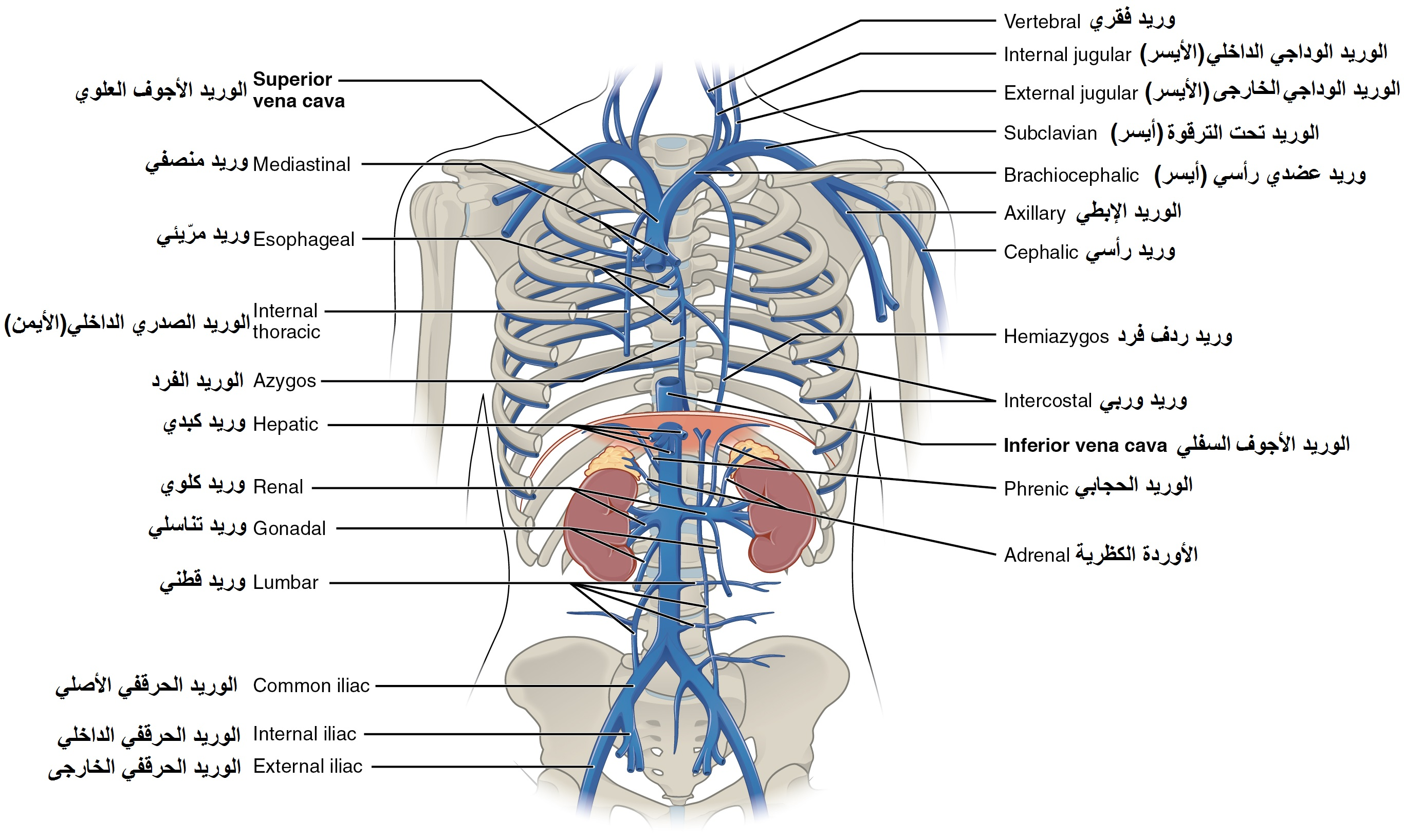 File2132 thoracic abdominal veins arabic ymg wikimedia commons file2132 thoracic abdominal veins arabic ymg ccuart Image collections
