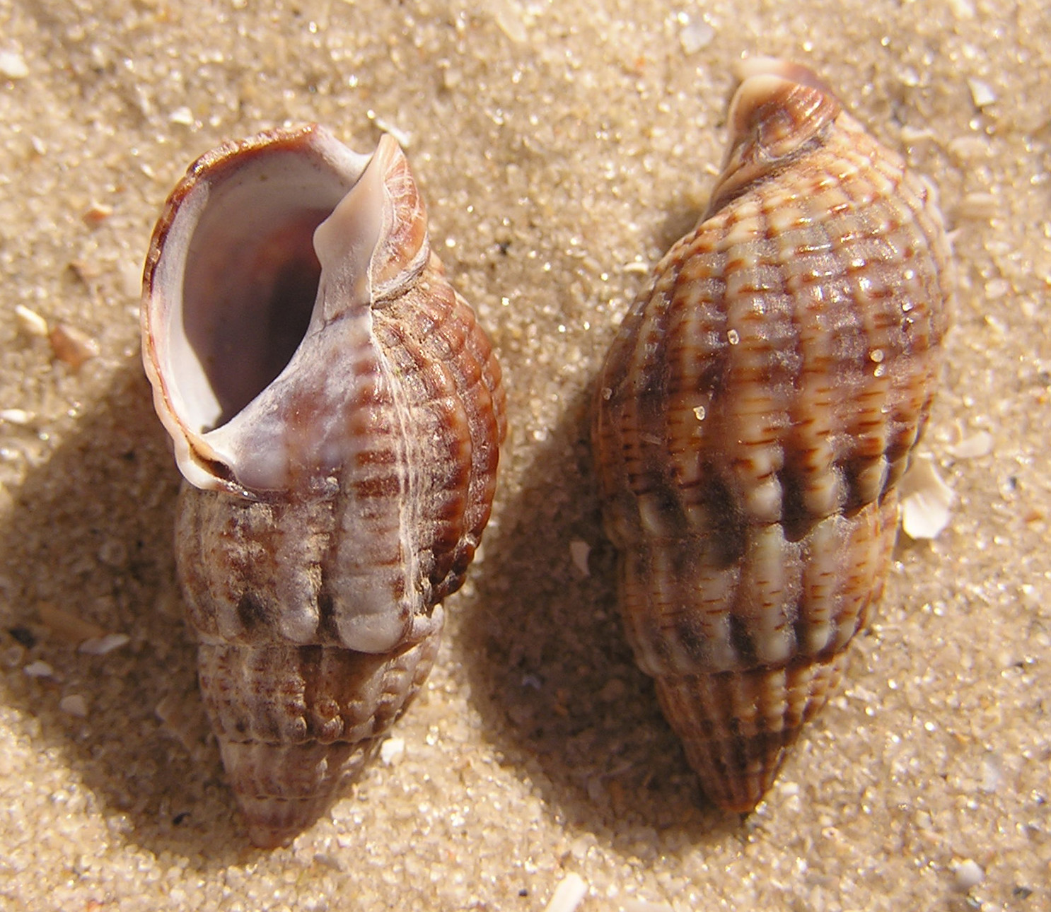 Pictures Of Mollusca 48