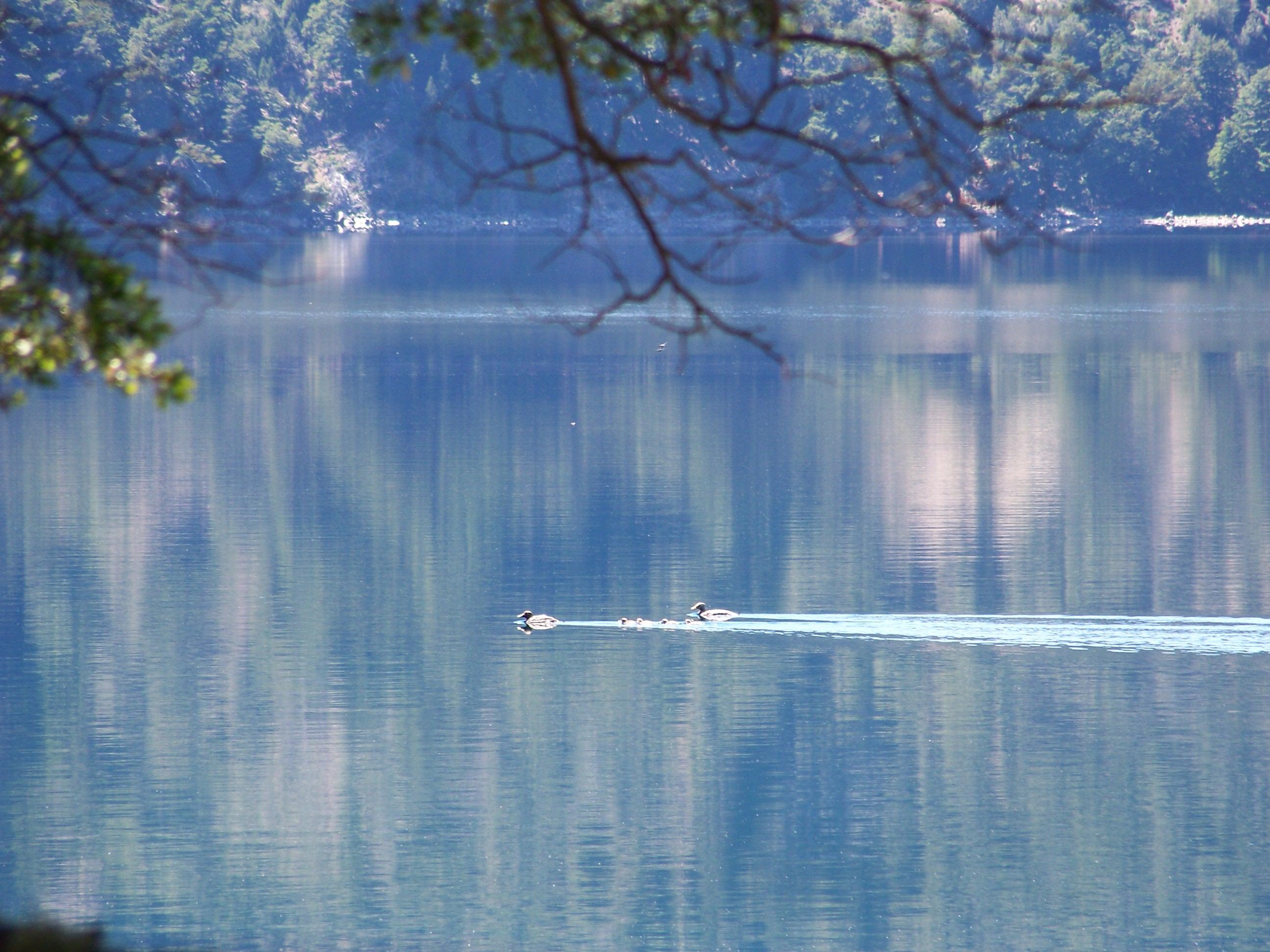 Abutardas en el lago Moquehue - Foto: Wikipedia