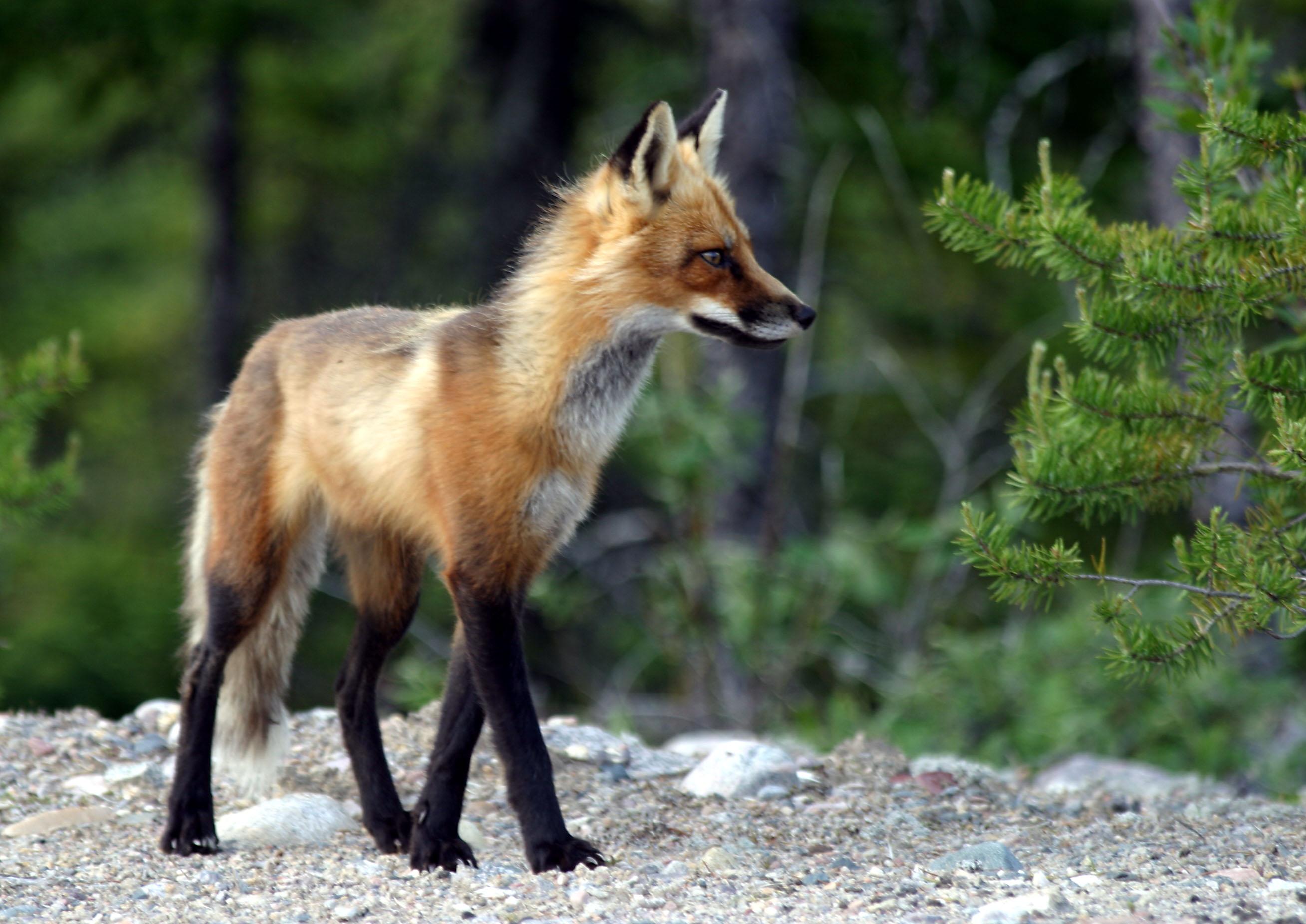 El pasado en el presente [Solitaria] Adult_fox