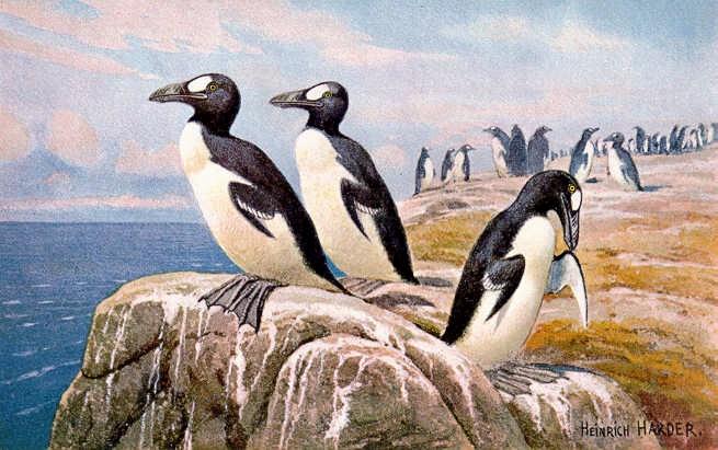 animales acuático extintos le alca imperial