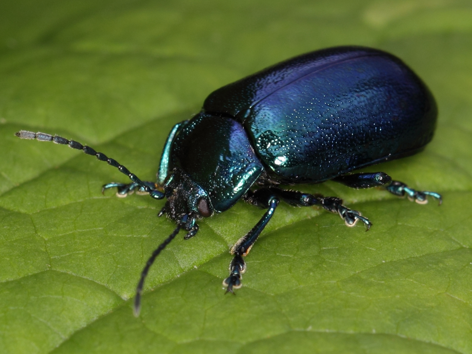 Leaf Beetle Lesson 4: Drawing Inse...