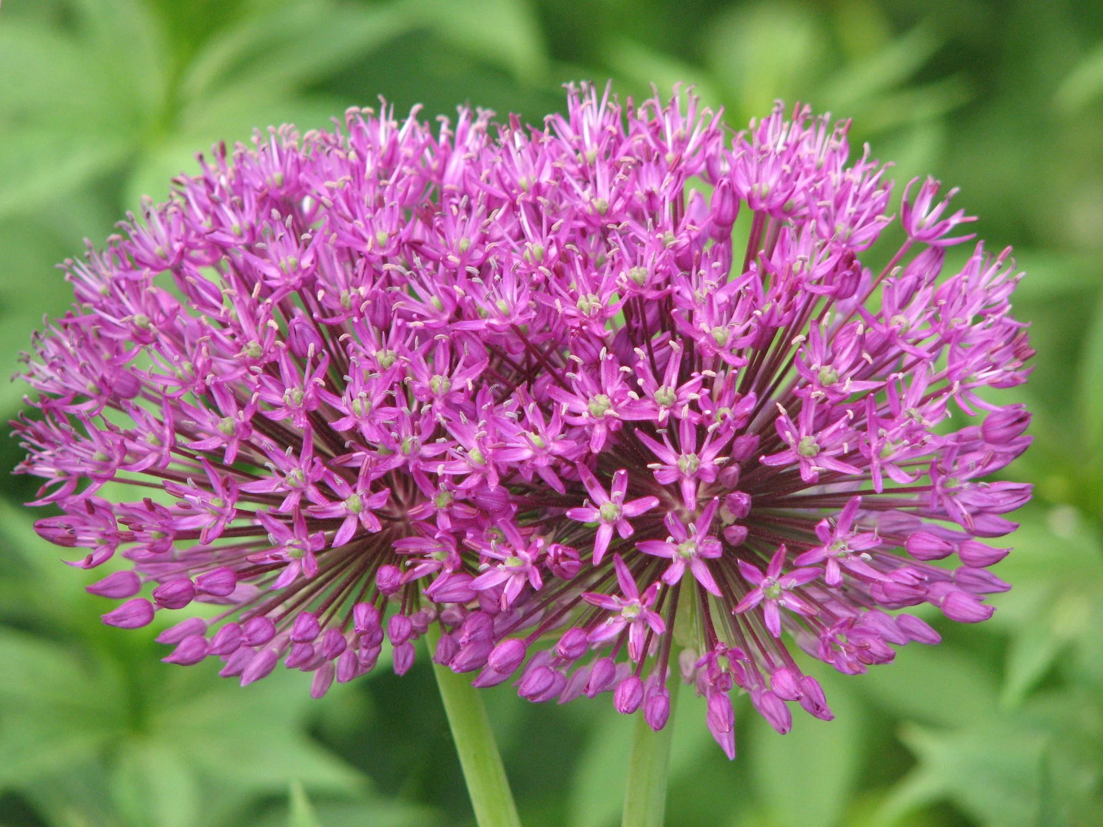 File Allium aflatunense 03 JPG