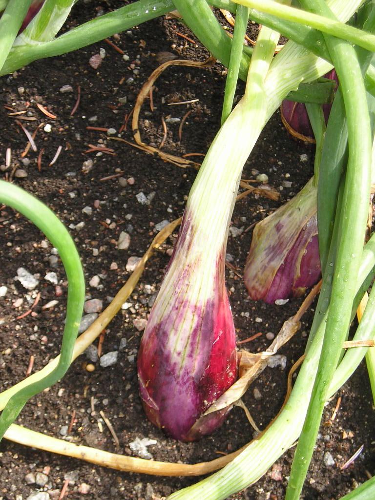 Allium cepa Aggregatum Grp.jpg
