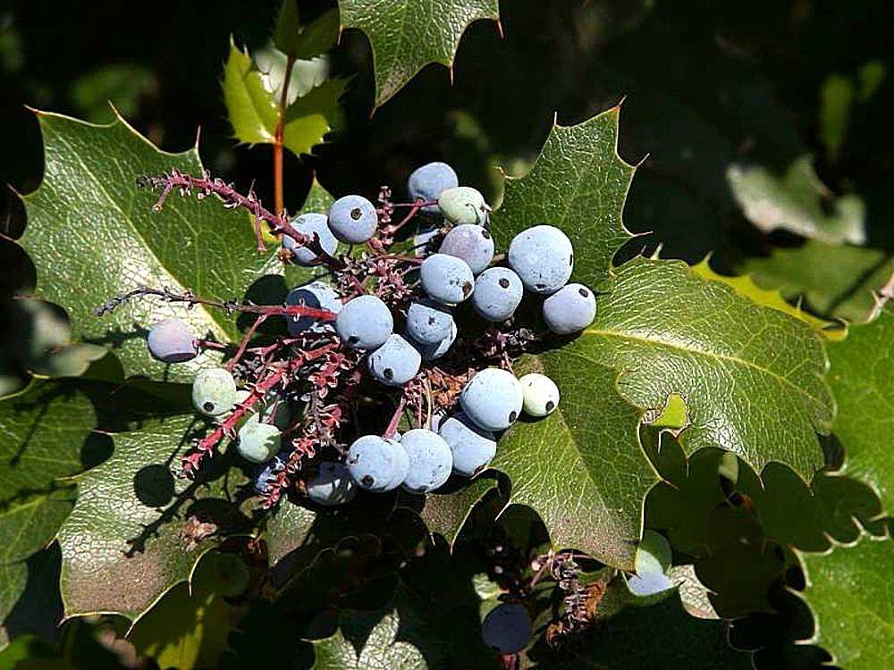 File Berriy Berries Holly Plants Leaves Leaf Jpg