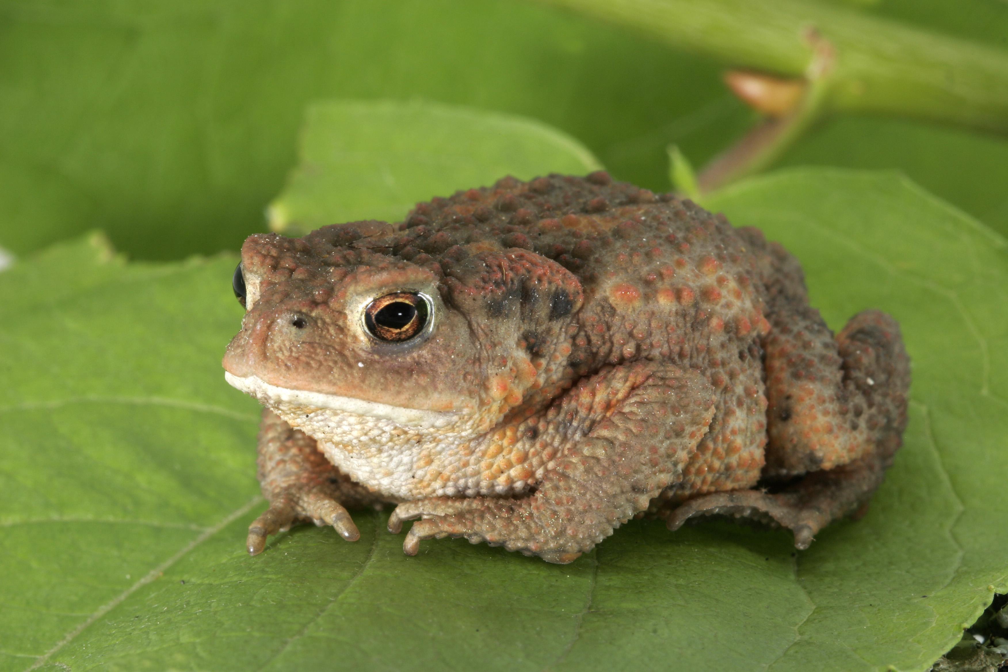 Реферат жабы и лягушки 1941