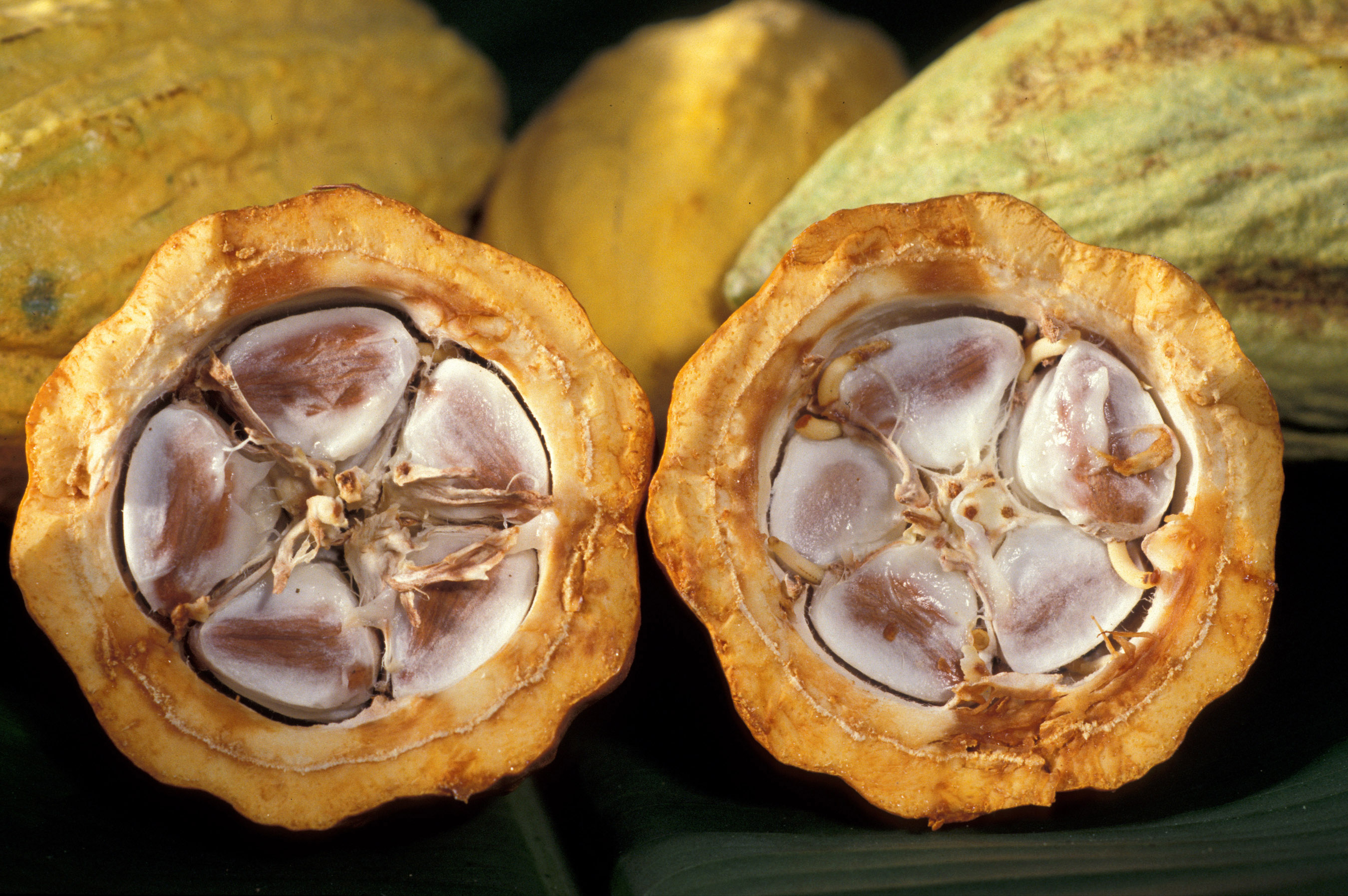Cocoa production in Ivory Coast - Wikipedia