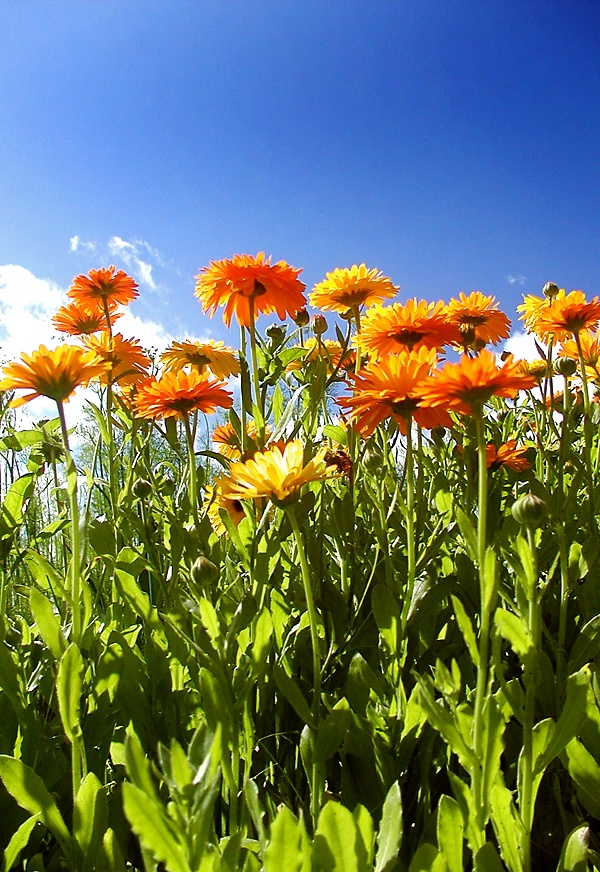 file calendula officinalis and wikimedia commons. Black Bedroom Furniture Sets. Home Design Ideas