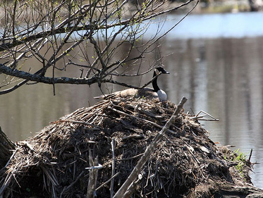Canada geese instinctively nest on higher ground near water. This female is nesting on a beaver lodge. Canada Geese Nesting on Beaver Lodge, Crawford County, PA 1960.jpg