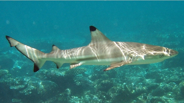 Blacktip reef shark - Wikipedia