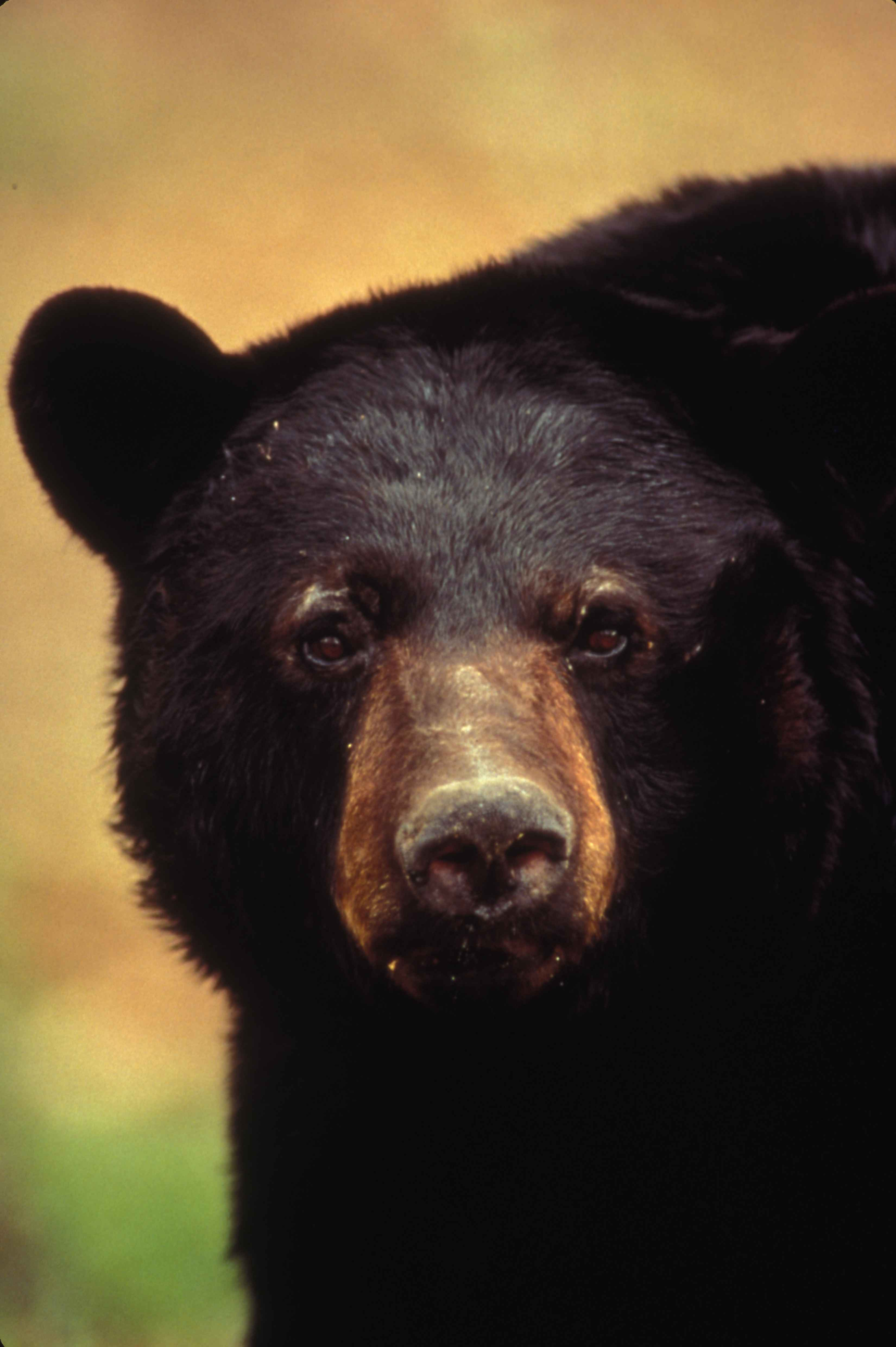Best Bear Hunting Dogs