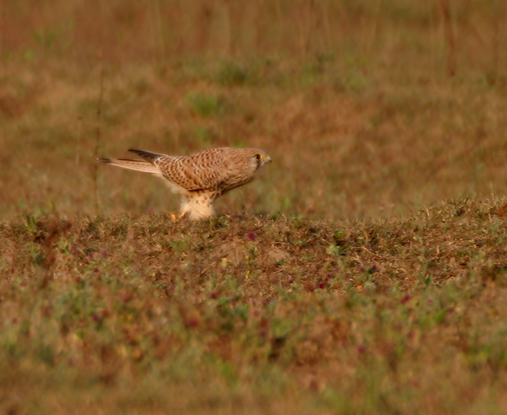 File:Common Kestrel (Falco tinnunculus) in Kinnarsani WS, AP W IMG 6047.jpg