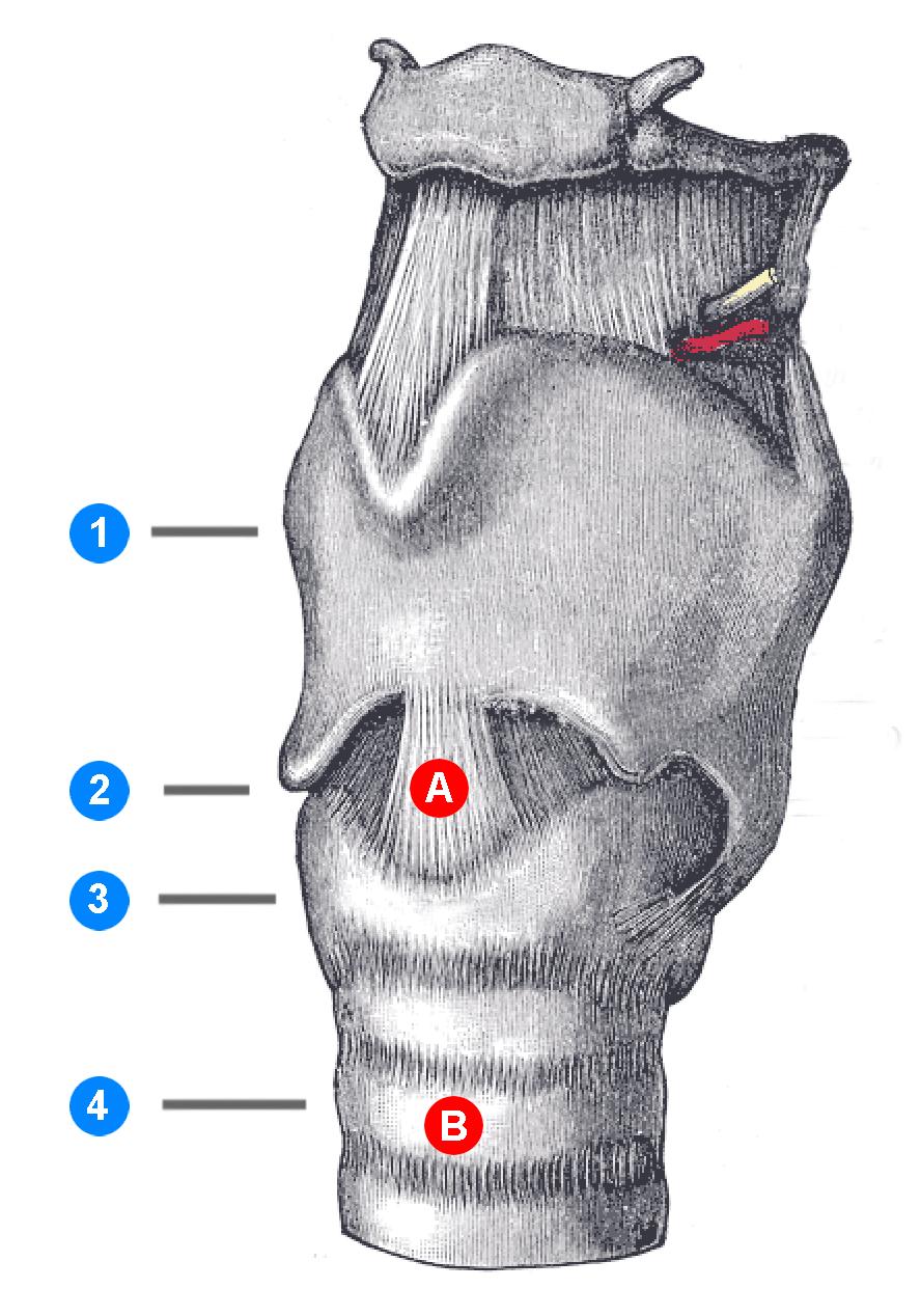 Tracheotomie – Wikipedia