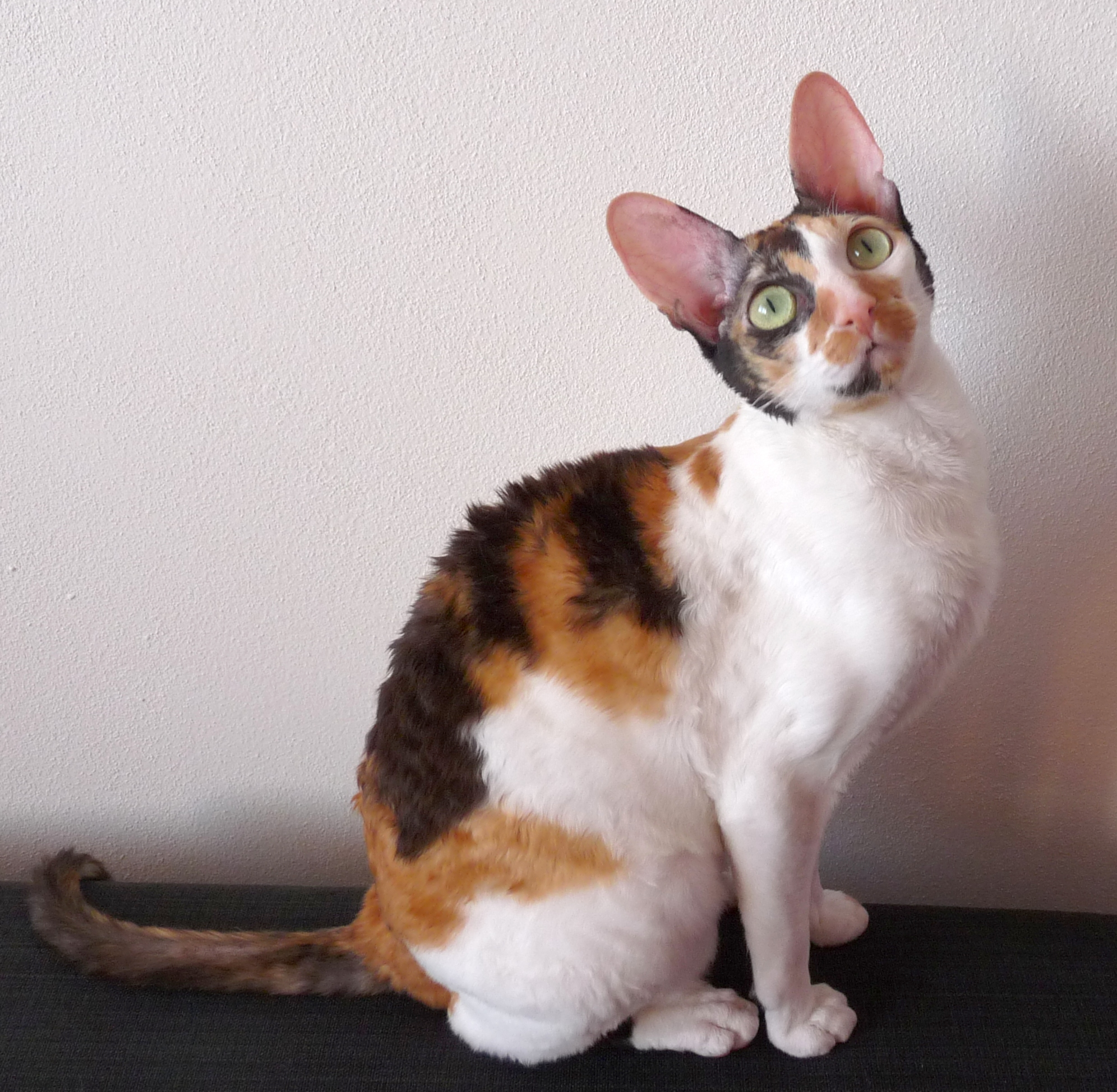 Ultimate Cat Cat Breeds Cornish Rex