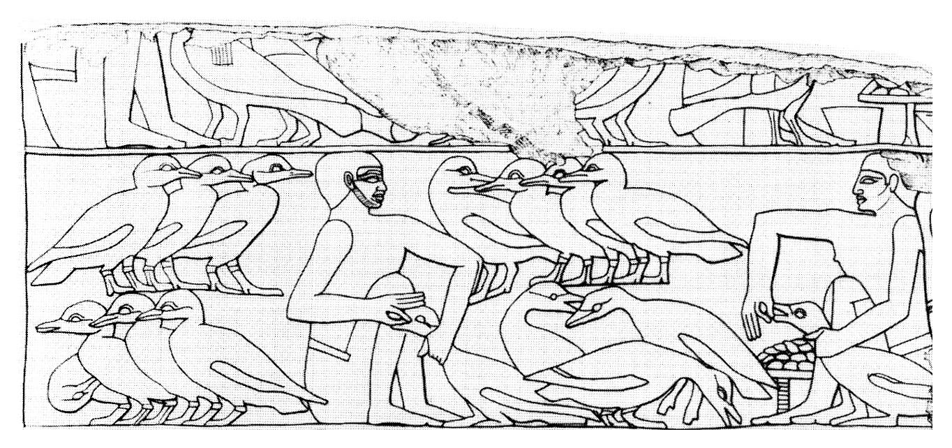 埃及壁畫描繪的肥肝製造過程,明顯有隻禽類正在被「填鴨」。