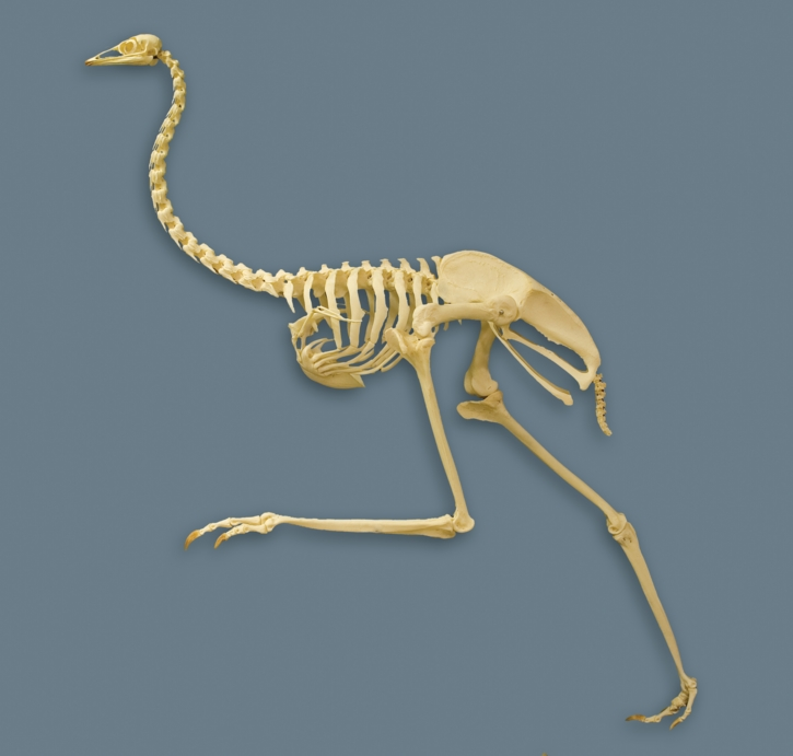 Ostrich wing skeleton - photo#15