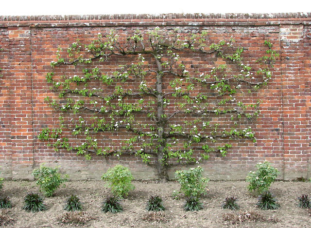 Image result for espalier