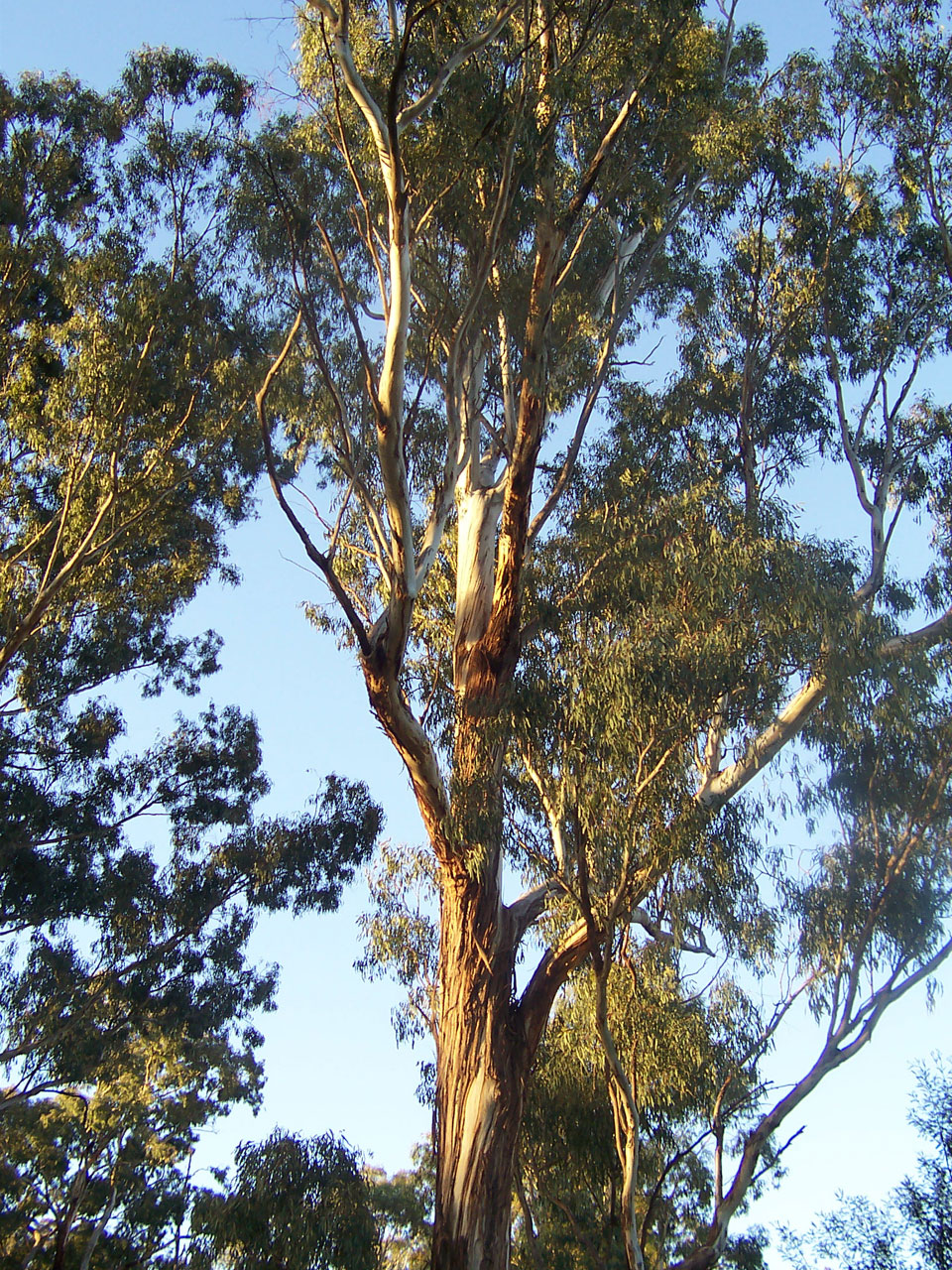 Planting Under Eucalyptus Trees : Size of this preview ? pixels other resolutions
