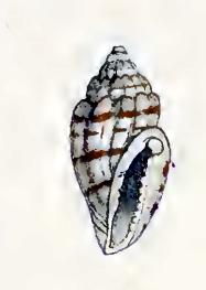 <i>Eucithara harpellina</i> species of mollusc