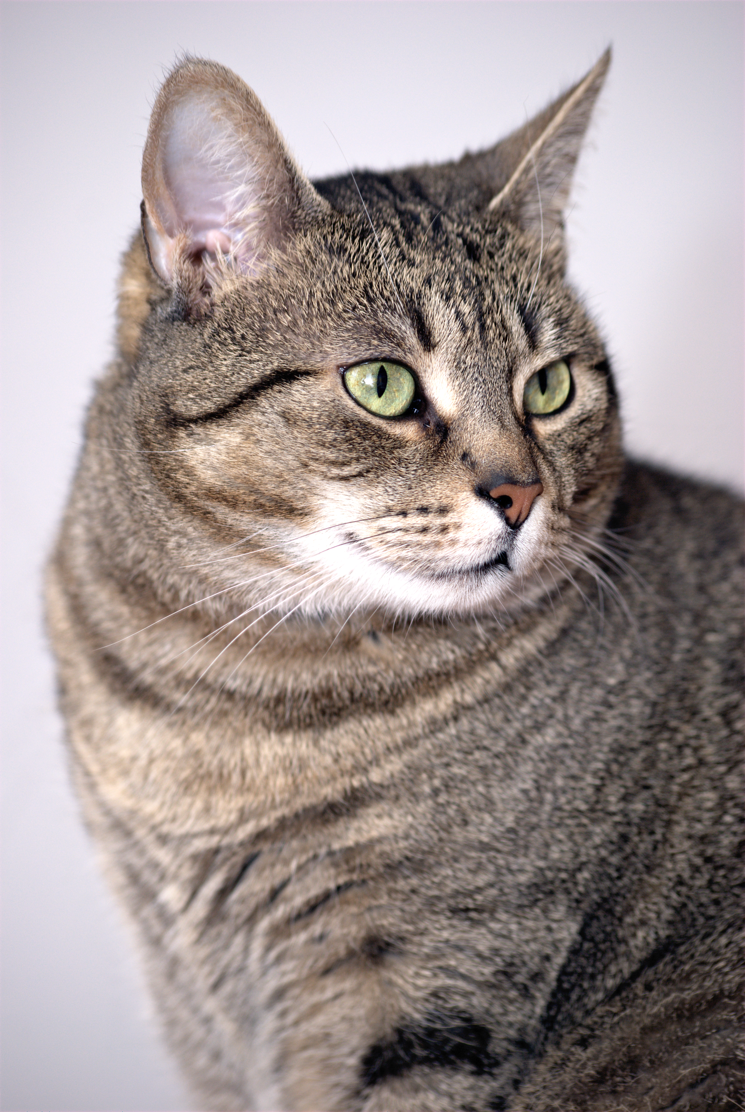 file european shorthair cat png wikimedia commons