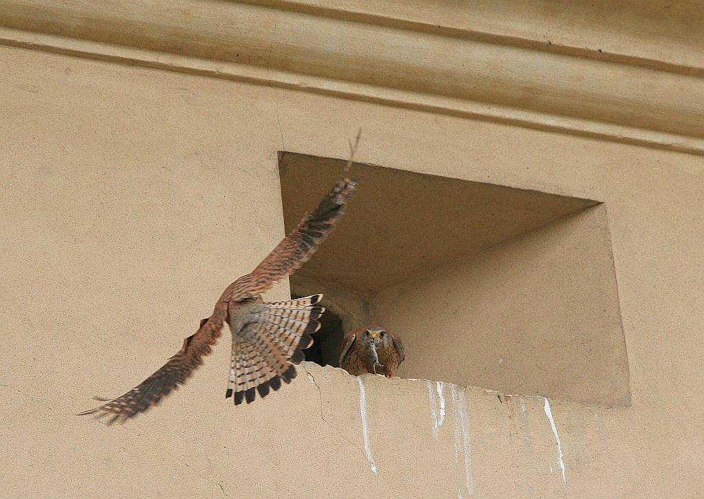 Falco_tinnunculus_male_female_am.jpg