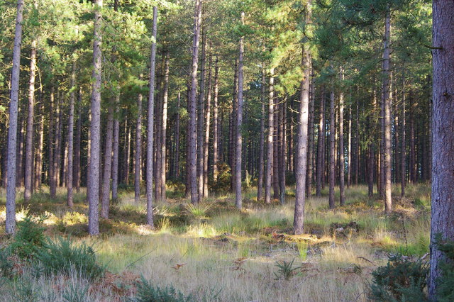 Forestry plantation, Rempstone Forest - geograph.org.uk - 262007