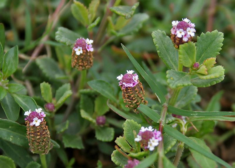 Frog fruit (Phyla nodiflora) in Hyderabad, AP W IMG 8032.jpg