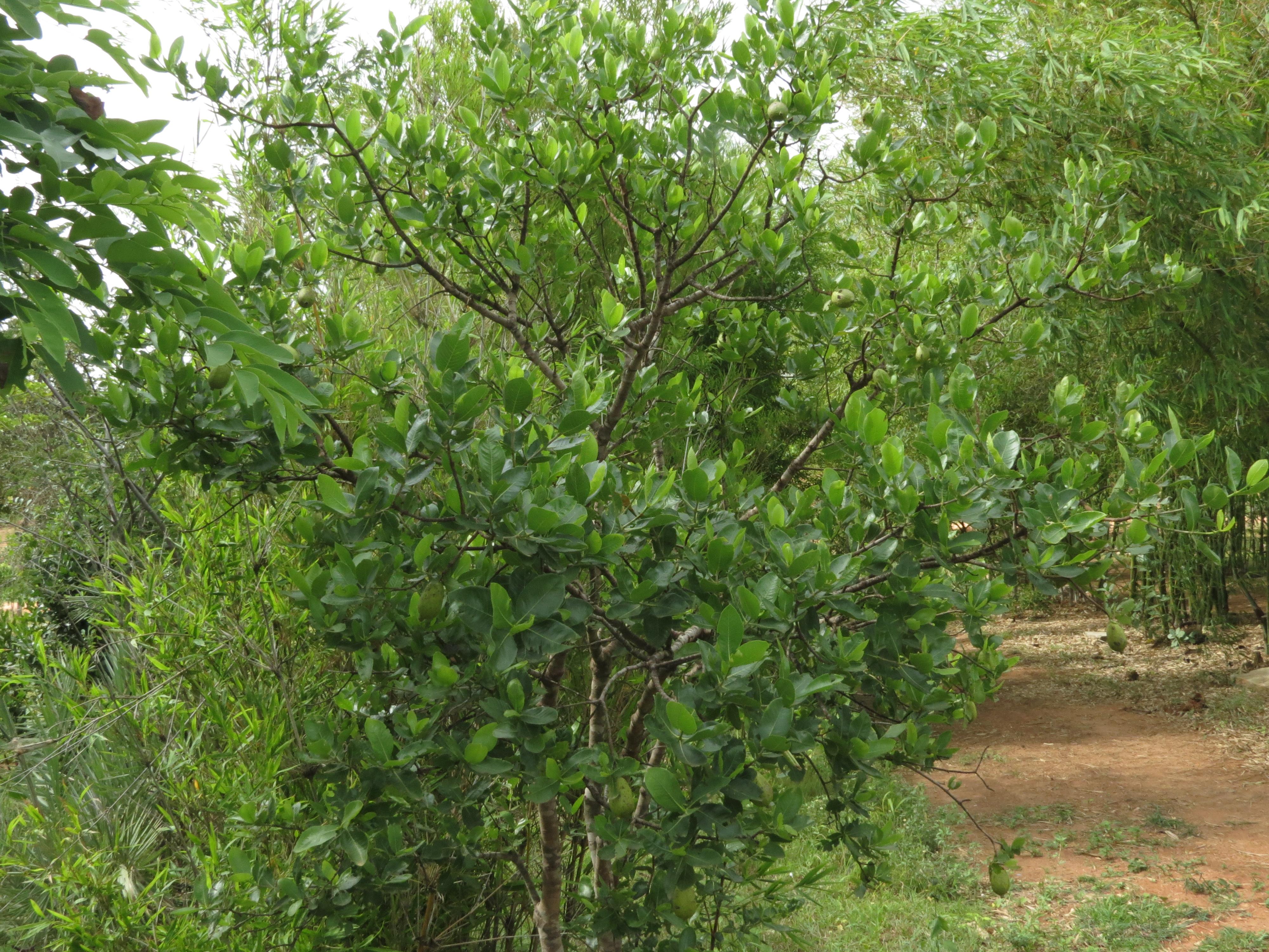 Gardenia Gummifera Pdf