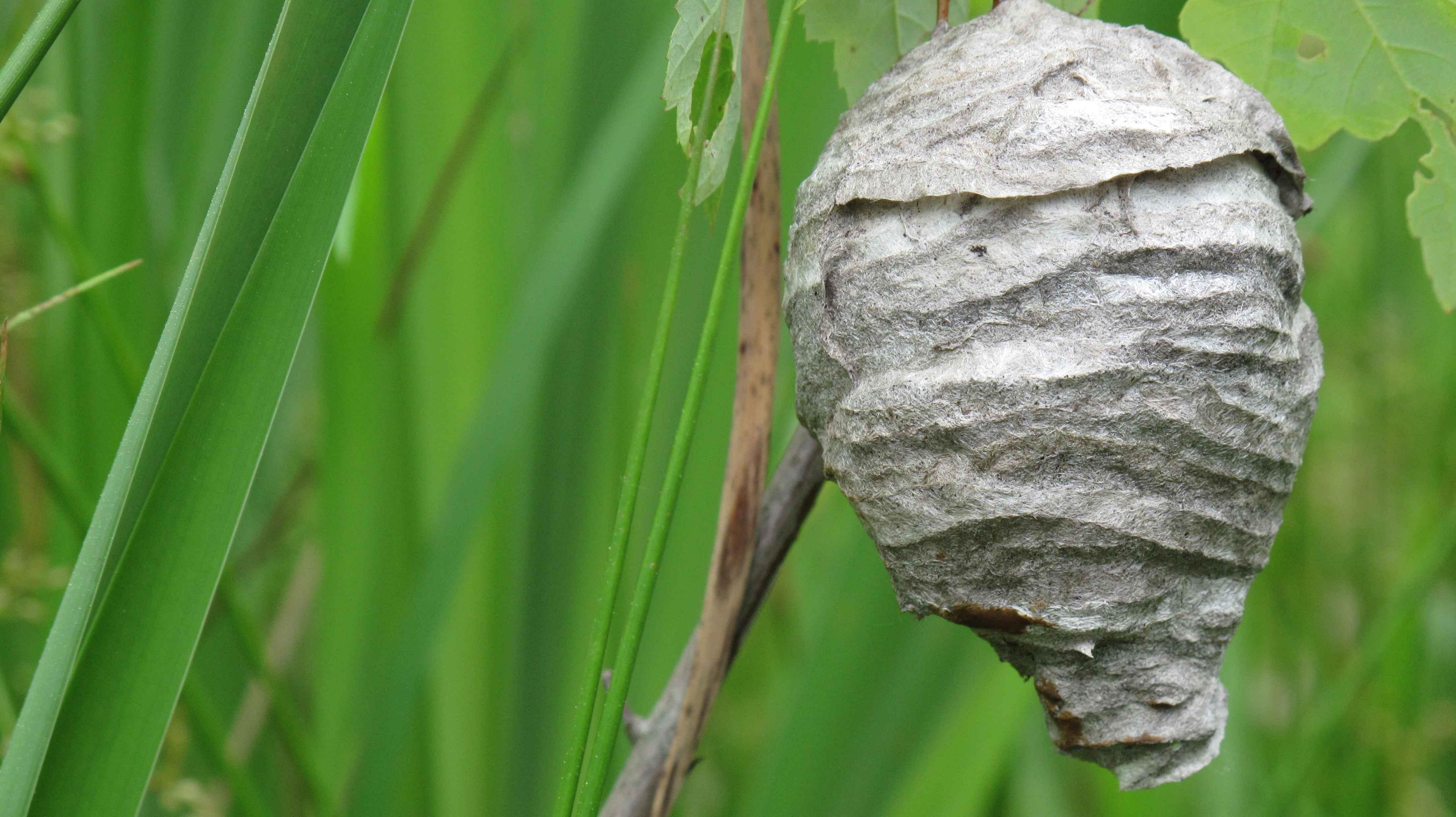 File Hornets Nest  Jpg