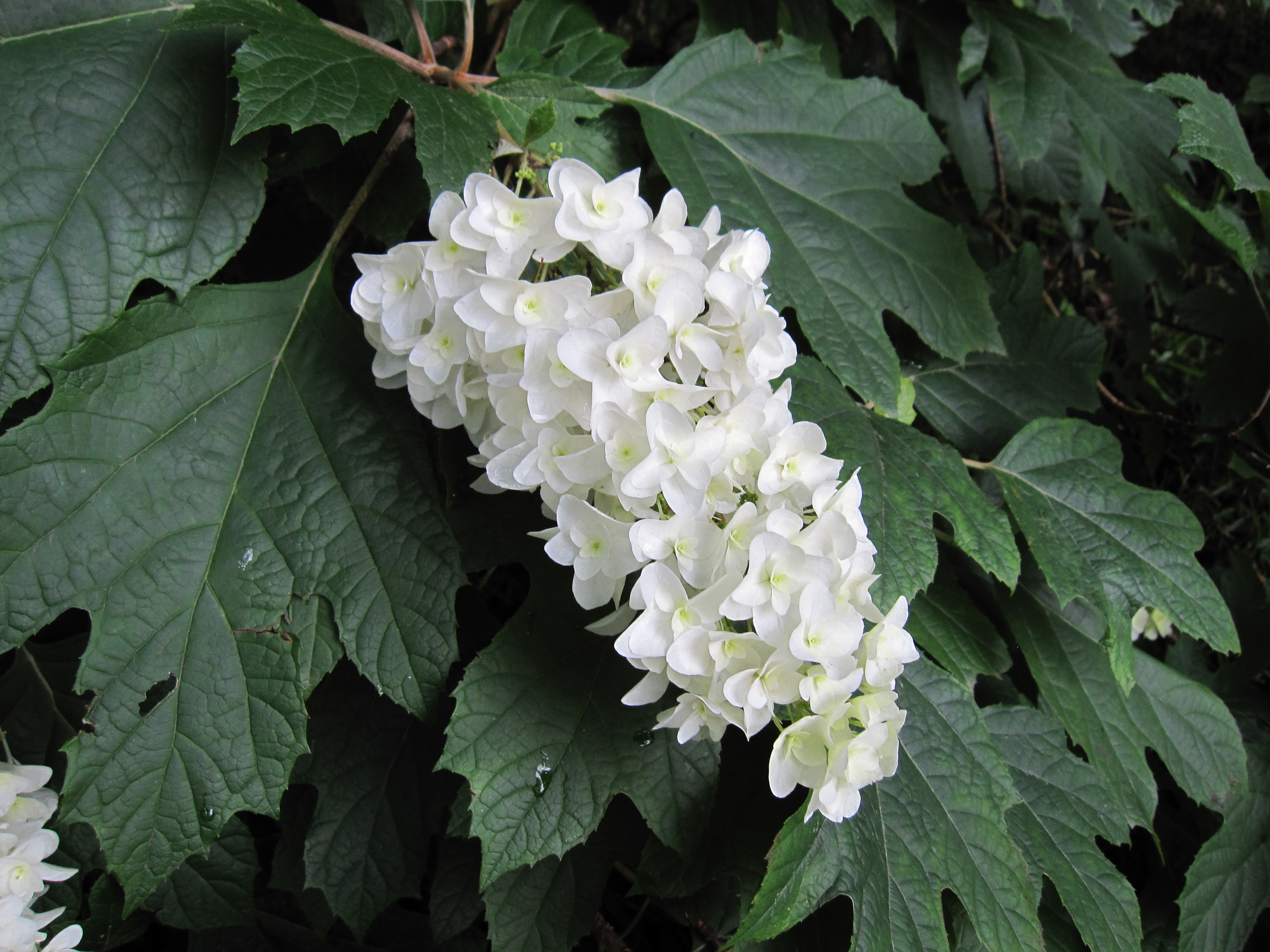 File hydrangea quercifolia double wikimedia for Hydrangea quercifolia