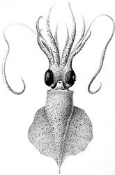 <i>Idioteuthis cordiformis</i> Species of mollusc