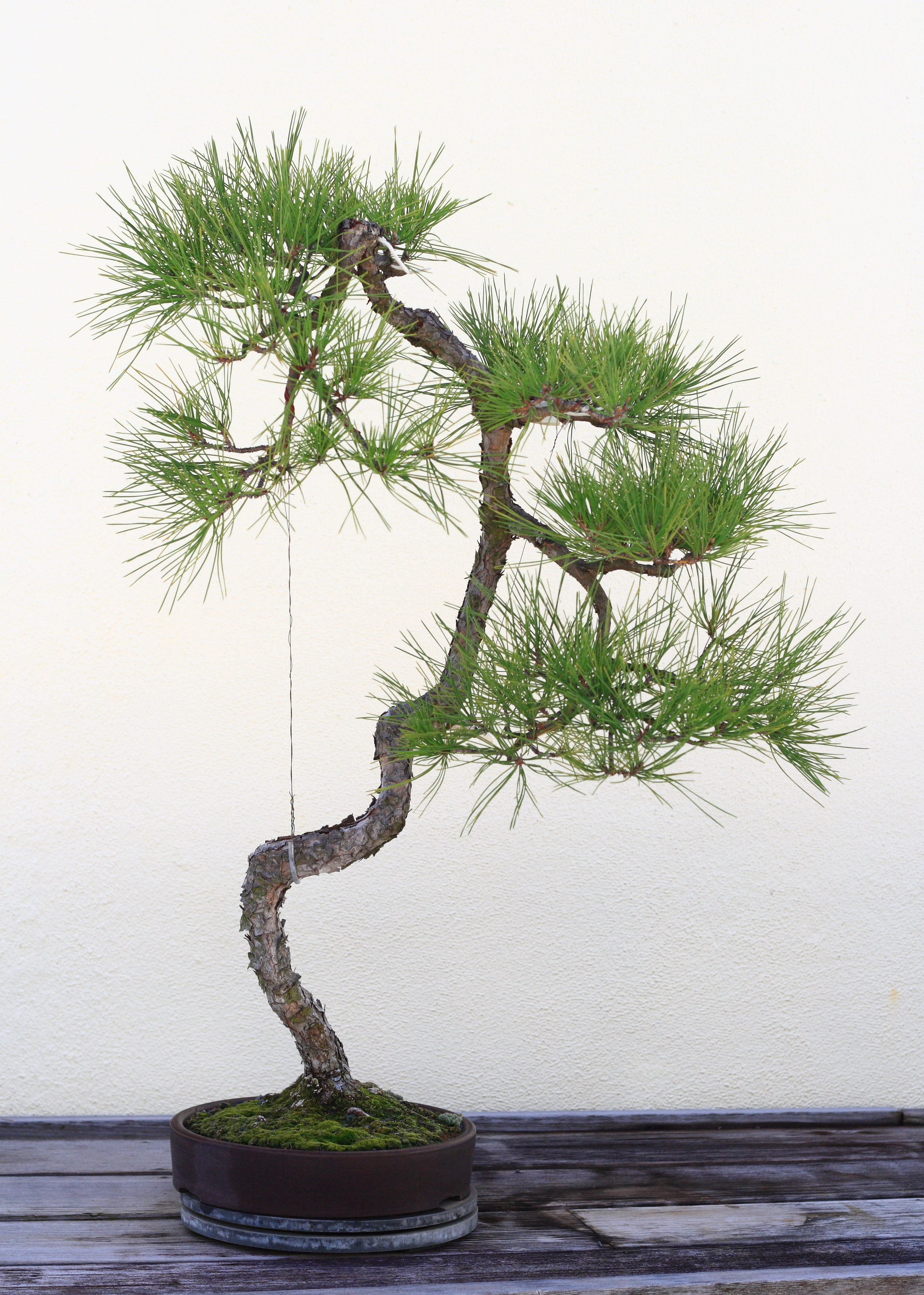file japanese black pine bonsai 135 october 10 2008