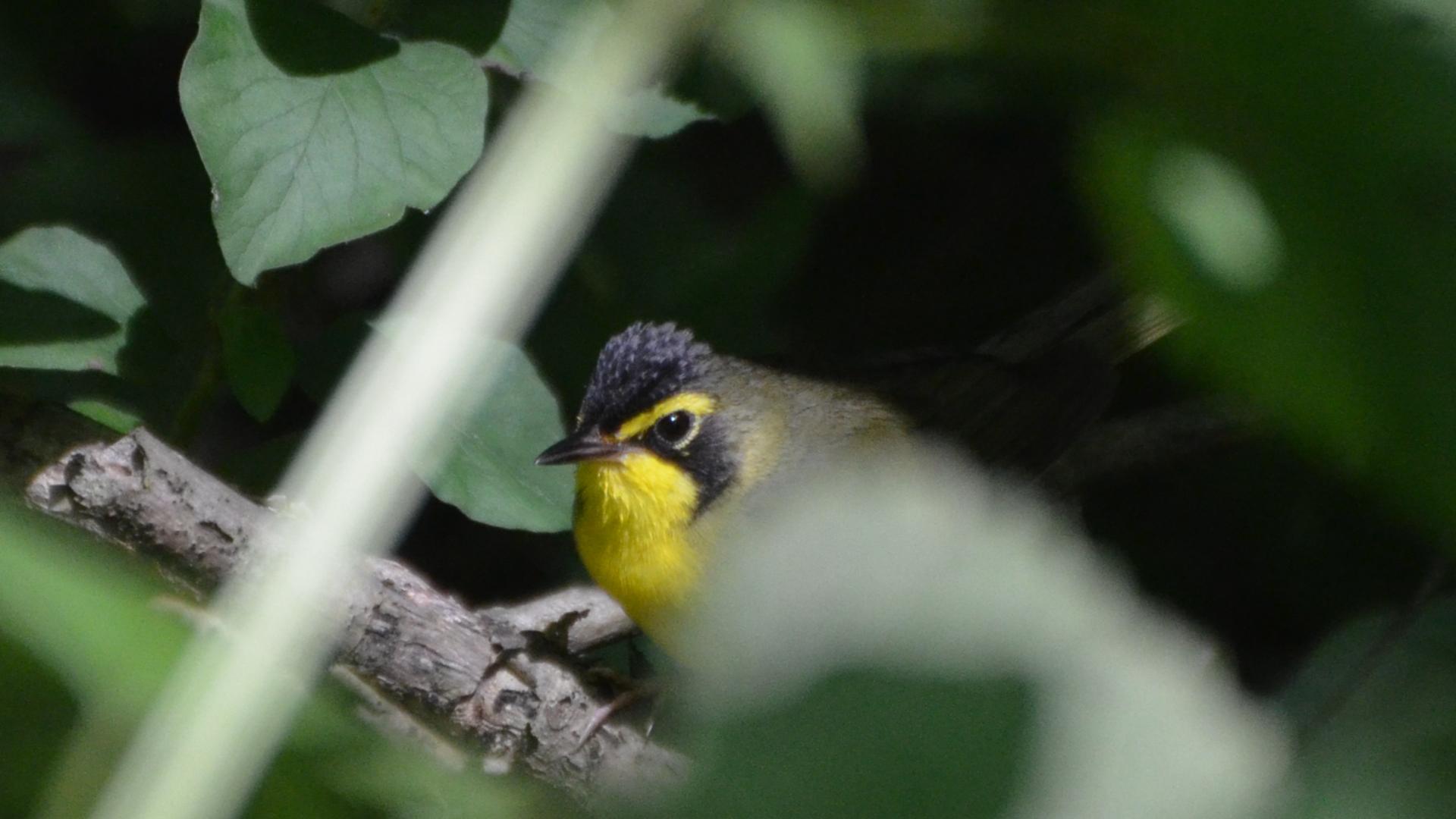 Kentucky Warbler (9168746043).jpg © Andy Reago & Chrissy McClarren